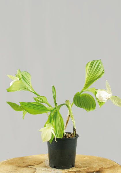 Cypripedium geel